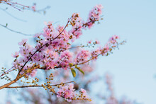 Low Angle View Of Cherry Blossoms In Spring