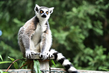 Lemur Sitting On Wooden Post