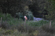 Owl Standing On Field
