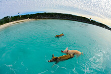 High Angle View Of Pigs Swimming In Sea