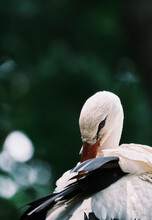 Close-up Of White Stork