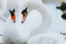 Close-up Of Swans
