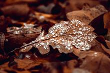 Autumn Dew On Oak Leaves