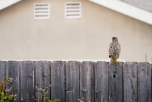 Coopers Hawk On A Wood Fence