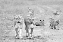 A Black And White Image Of Lionesses Guarding Their Cubs