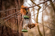 Red Squirrel Eating Upside Down From A Feeder