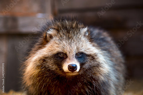Fényképezés Close-up portrait of a raccoon dog at a wildlife shelter in an aviary on a straw