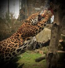 Jaguar Eating Prey From Tree Trunk