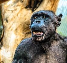Old Chimpanzee In Zoo
