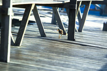 Birds Looking For Food On A Wooden Jetty