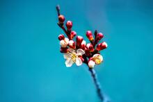Close-up Of Red Cherry Blossom Against Blue Sky