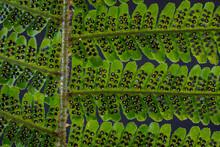 USA, Washington State, Seabeck. Detail Of Spores On Underside Of Fern Leaf.