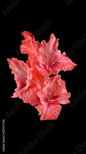 Fotografía Flower. Part of beautiful red gladioli on a black background
