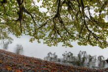 USA, Washington State, Olympic National Park. Bigleaf Maple Tree Overhanging Lake Crescent.