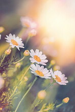 Selective And Soft Focus On Daisy Flowers, Beautiful Sunset Landscape In Meadow Of Daisy Flower