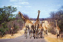 Giraffes Walking On Road