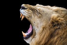 Close-up Of Lion Yawning Against Black Background