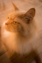 Peach Colour Cat Maine Coon In Sunlight
