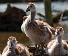 Young Egyptian Goose Gosling Close Up Eye Level Photo
