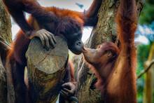 View Of Orangutans Kissing On Tree