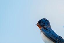 Bluebird, Western Sialia Mexicana Standing Against Blue Sky.