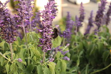 Close-up Of Black Bee On Purple Flowering Plants