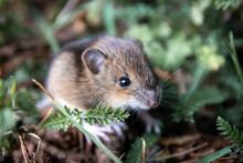 Macro Of A Wild Cute Little Forest Mouse In Isolated Close-up On The Ground With Green Grass