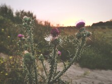 Close-up Of Pink Thistle Flowers On Field During Sunset Berlin Teufelsberg Germany