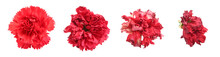 Red Carnation Flower Heads Dying Process. Stages Of Wilting Process