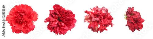 Fotografie, Obraz Red carnation flower heads dying process