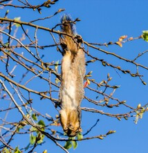 Close-up Of Squirrel Hanging On Tree Branches Against Clear Blue Sky