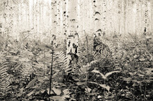Plants Amidst Birch Trees In Forest