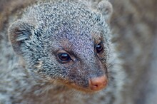 Close-up Of An Dwarf Mongoose