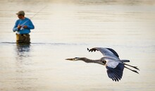 Great Blue Heron Flying Over River
