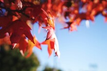 Close-up Of Maple Leaves On Tree During Autumn Colorful Foliage