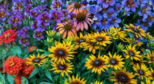 Photo Painted tongue and hirta daisies in tight grouping along with red zinnia and con