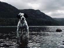 Springer Spaniel Stood In Lake, Derwentwater, Borrowdale, Cumbria