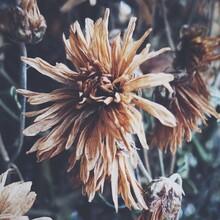 Wilted Flower Plants In Yard