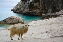 View Of Goat On Rock By Sea