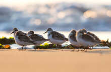 Sanderling, Calidris Alba Birds In Habitat At Sunrise