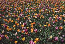 Full Frame Shot Of Purple Tulip Flowers On Field