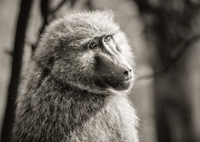 A Portrait Shot Of A Baboon Doing An Over The Shoulder Pose