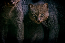 Jaguarundi Photographed In Captivity In Goias. Midwest Of Brazil. Cerrado Biome. Picture Made In 2015.