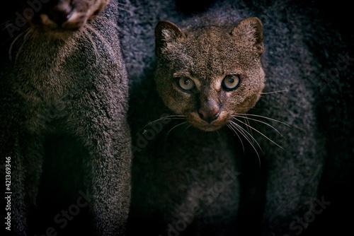 Fotografie, Obraz Jaguarundi photographed in captivity in Goias