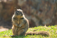 Cute Squirrel Sitting On Grass. Close Up Portrait Of A Ground Squirrel In City Park In Sunny Day