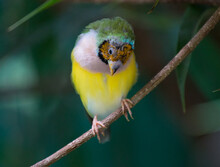 Close-up Of Gouldian Finch Perching On Branch