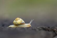 USA, Washington State. Grove Snail Or Brown-lipped Snail (Cepaea Nemoralis), And Invasive Species From Europe. Kirkland.