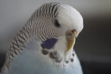 Thoughtful Budgie
