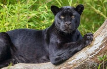The Black Panther Lies On A Tree.