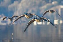USA, Washington State. Canada Geese (Branta Canadensis) Flying Over Lake Washington. Kenmore.